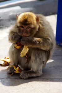 Aben stjal en banan
