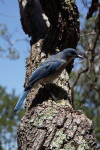 Blå fugle