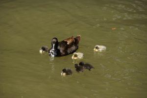 En lille ande familie i floden